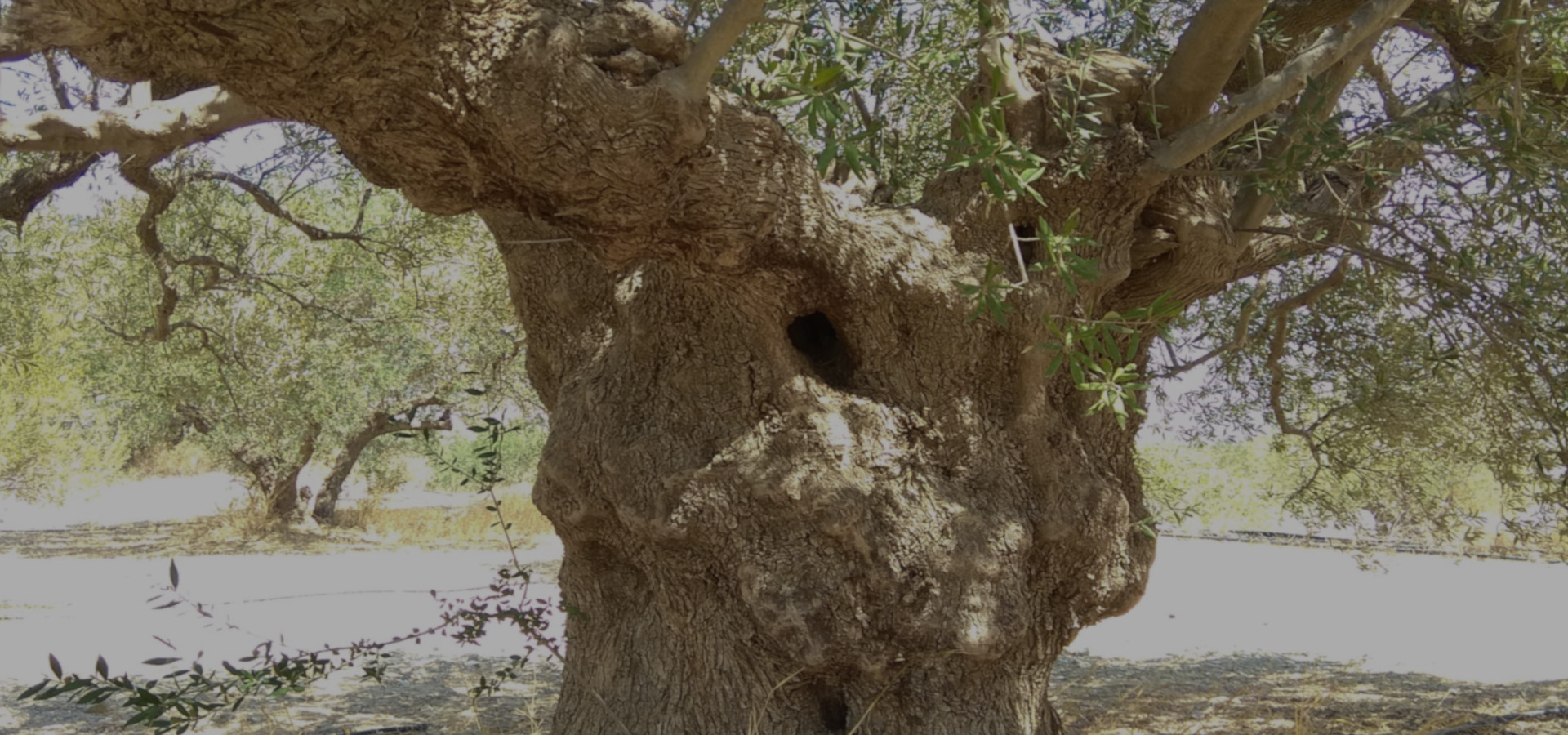 An ancient olive tree