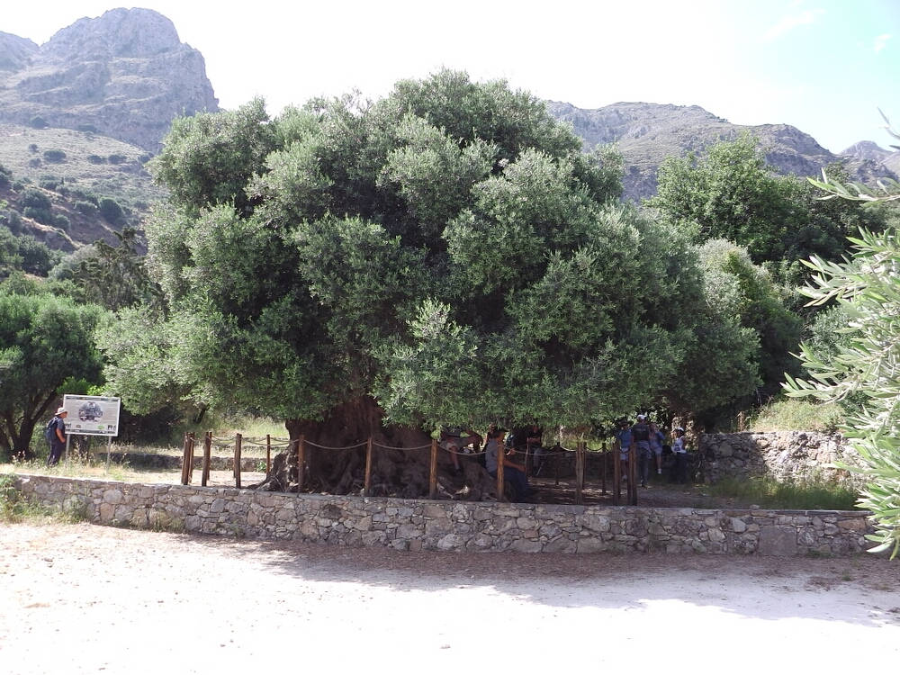 The oldest ancient olive tree