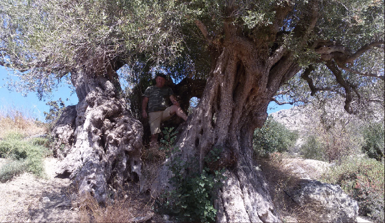 A man on an olive tree