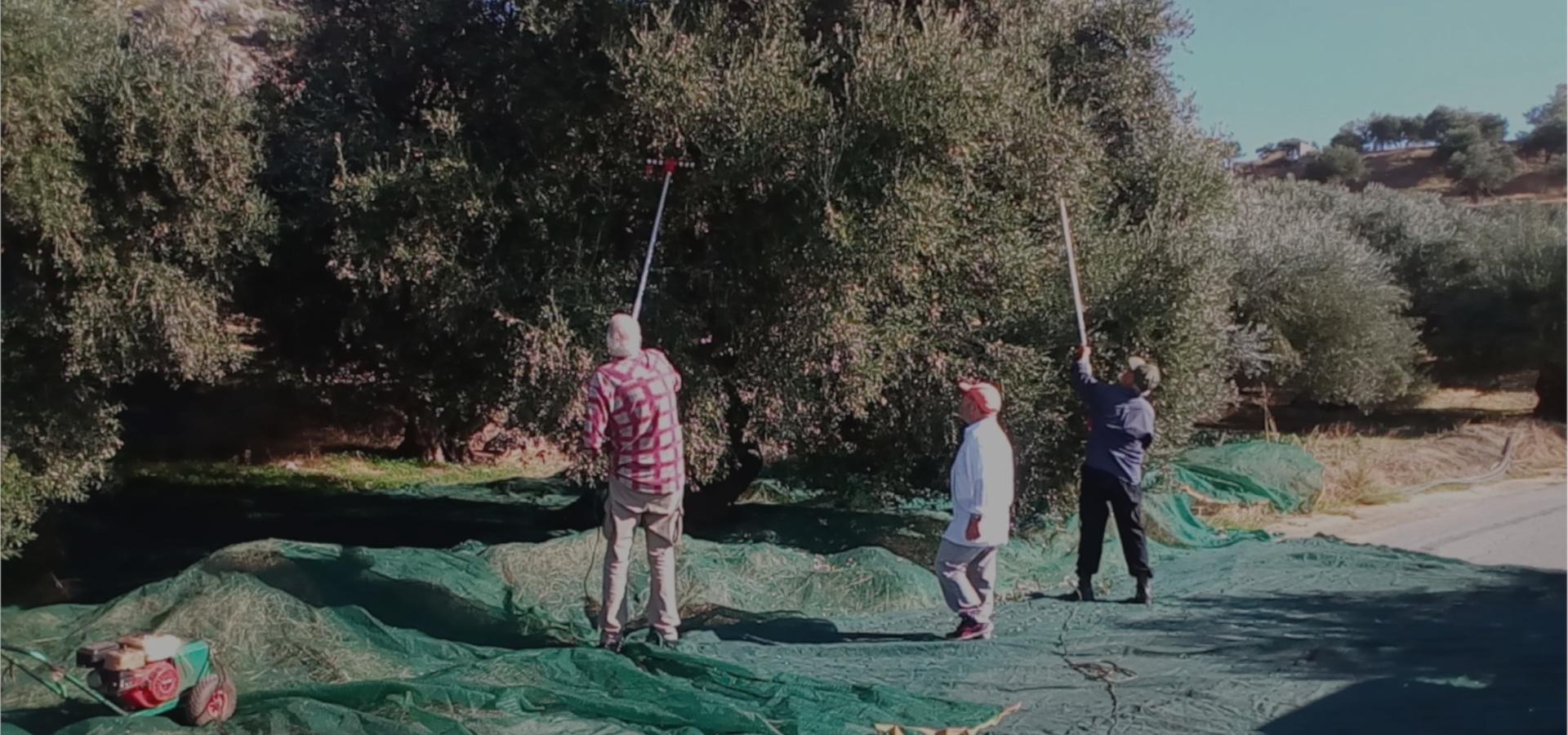 People Harvesting an olive tree